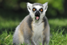 A picture of a surprised ringtailed lemur in Madagascar. - Photo: Shutterstock