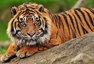 Photo: Tiger Conservation